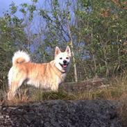 Norsk buhund Gimli -Mies egen bjergged