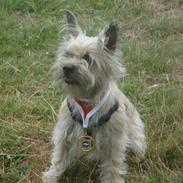 Cairn terrier Tofthus' Muffin
