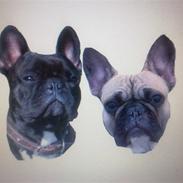 Fransk bulldog Chanel og Monse