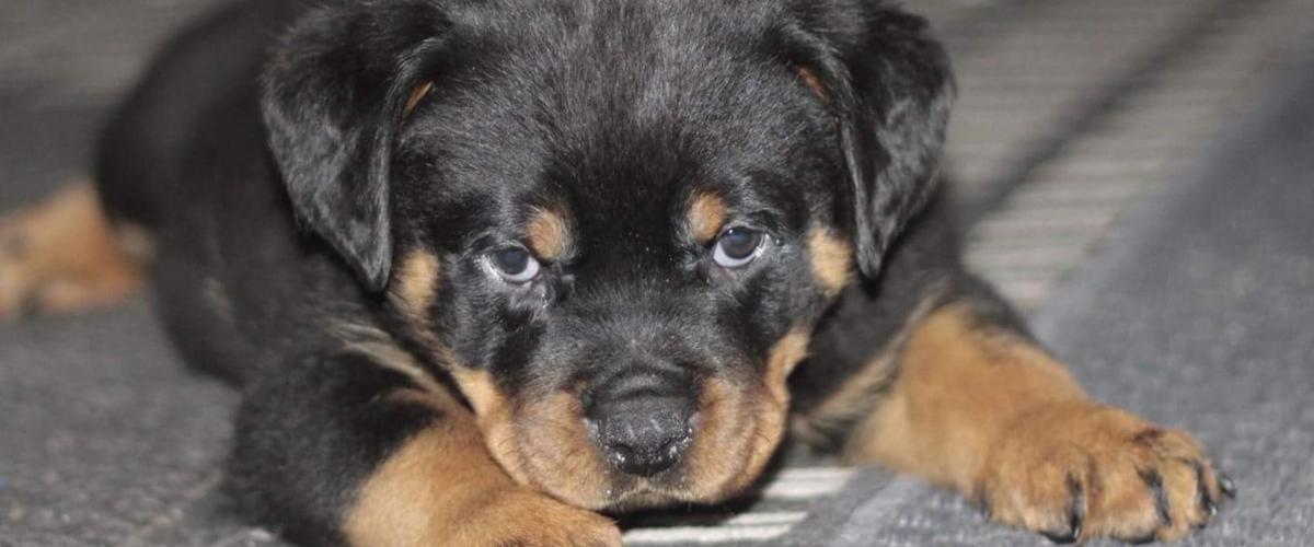 Efterstræbte Rottweiler Flere hvalpe - kr. 10000 - hunde ES-59