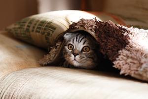 CBD olie til katte