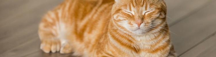 CBD-olier kan hjælpe din kat