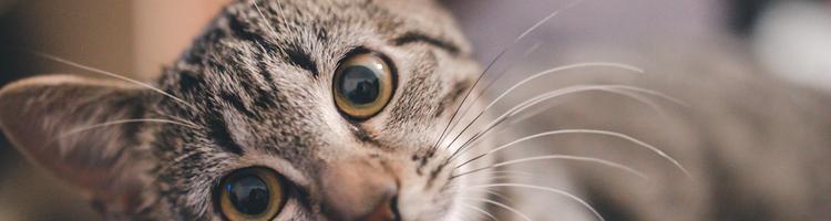 Kom over problemer med indvoldsorm hos din kat