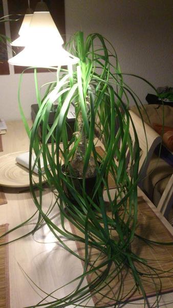 giftige planter katte