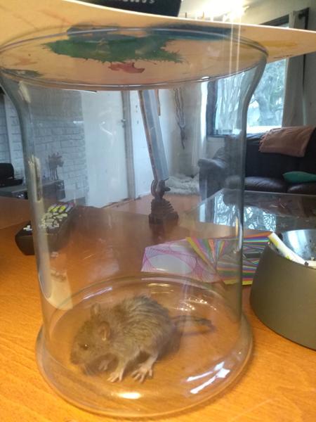 Har fanget en mus