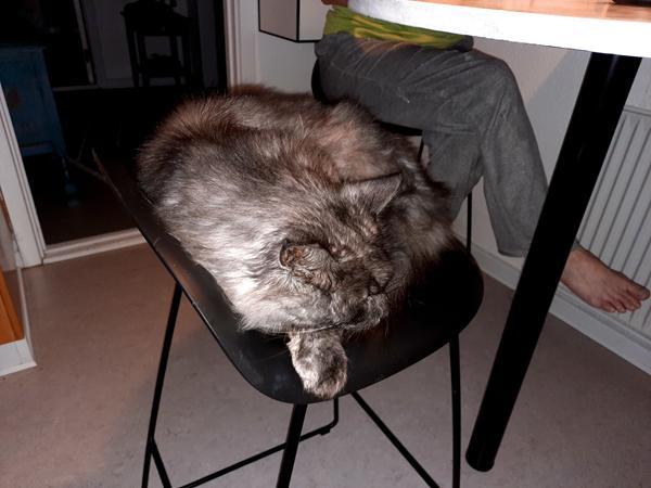 Katte ved aftensbordet