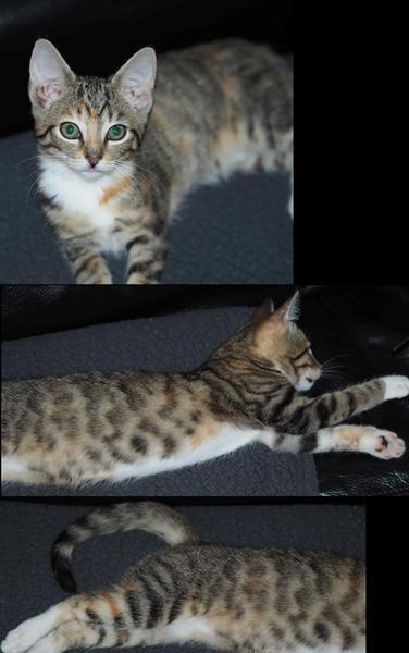 Er der en smule Bengal i vores nye kat?