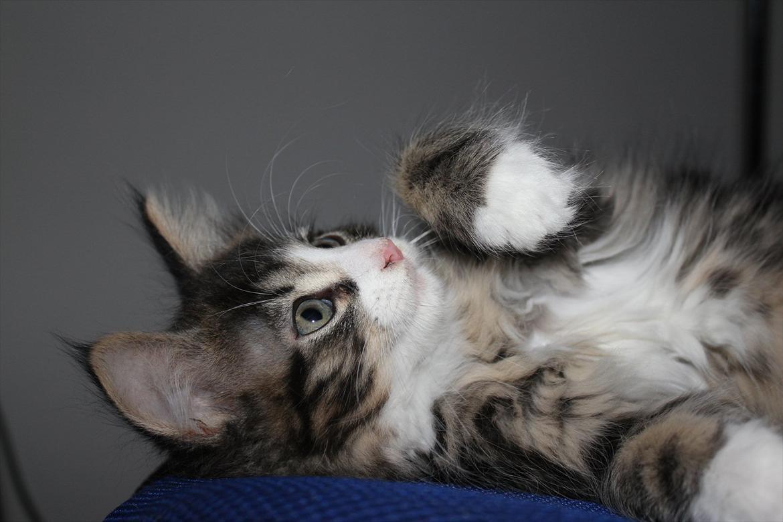Maine Coon Smokey - Billeder af katte - Uploaded af * Sandra *