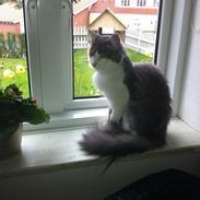 Norsk Skovkat Mischa Kaldenavn : Mis
