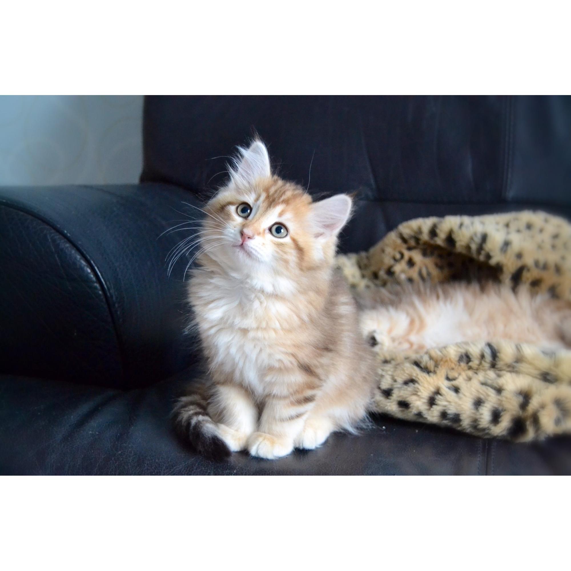 sibirisk skovkat til salg