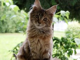 Maine Coon Stella - (DK Prelude cats Sarsellerne)