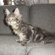 Maine Coon Ankicoon Alfred (Alf)