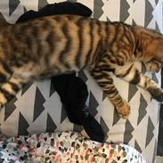 "Toyger Tigervision's Altaica ""Monty"""
