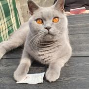 British Shorthair Violet
