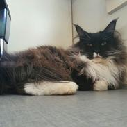 Maine Coon Pablo Picasso Dan Sky Beyrouth, CZ