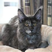 Maine Coon Cybercats Renata
