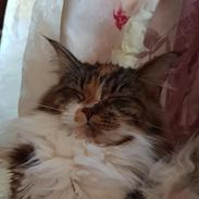 Maine Coon Tukenjas Siff PP