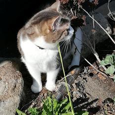 Huskat Cleo