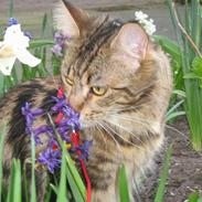 Maine Coon Ally R.I.P
