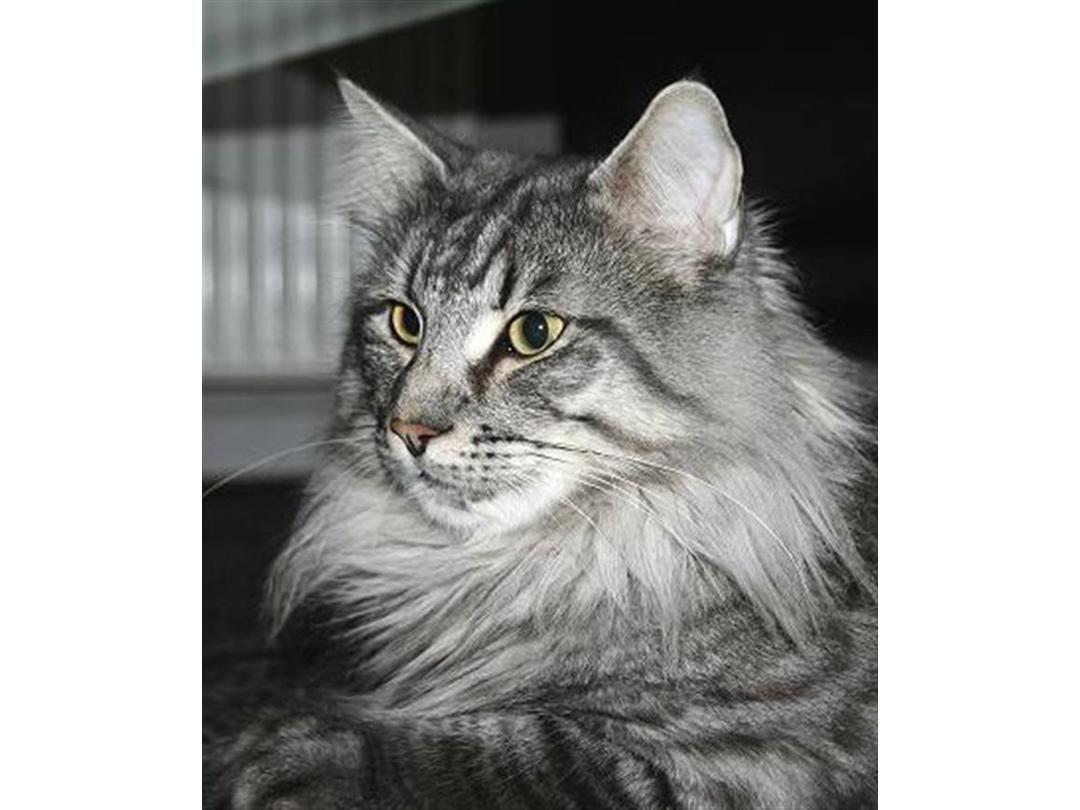 Sibirisk kat til salg
