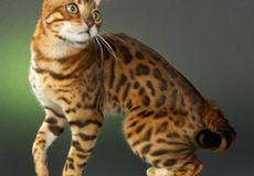 Bengal Leopardettes Lux of Lama