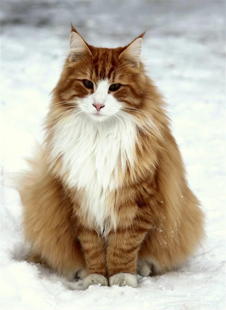 Norsk Skovkat Guldkaramel (KATO) R.I.P - Billeder af katte - Uploaded af * KATO *