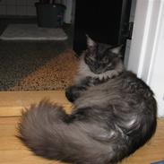 Maine Coon Toulouse